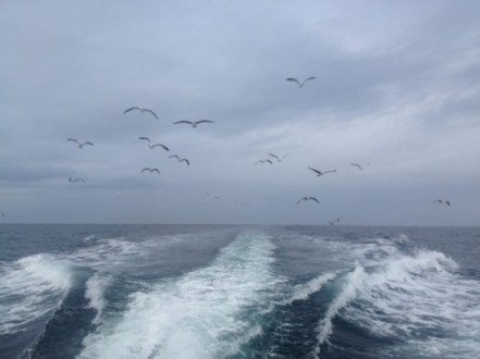 Gulls following the boat (Photo by Alex Lamoreaux)