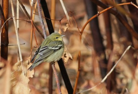 Wintering Blackpoll Warbler (Photo by Alex Lamoreaux)