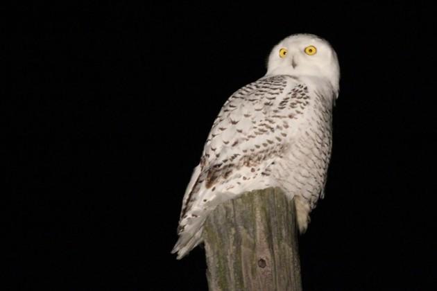 Snowy Owl along CIrcleville Rd, Centre County, PA (Photo by Alex Lamoreaux)