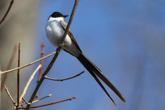 Fork-tailed Flycatcher - adult male in Hadlyme, CT (Photo by Alex Lamoreaux)