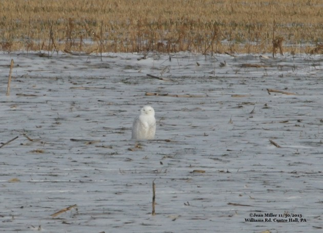 November 30th Snowy Owl along Williams Rd, Centre County, PA (Photo by Jean Miller)