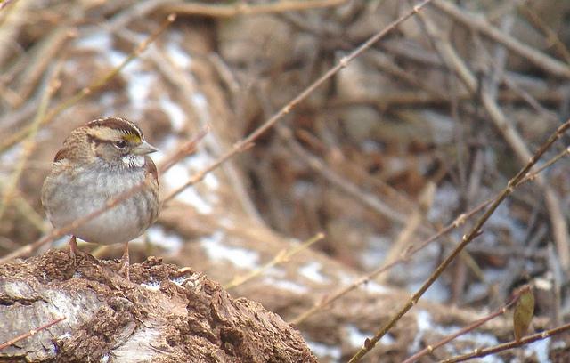 White-throated Sparrow - Tim Schreckengost