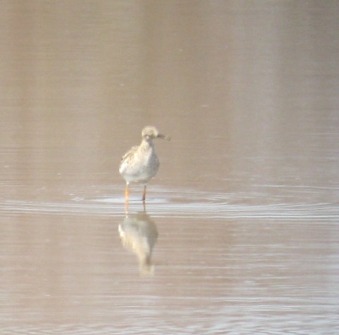 Picking through the hordes of shorebirds at Bombay Hook, Taj Schottland and I picked out this Ruff. A self-found lifer is always going to be a highlight!