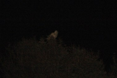 Our first bird of the trip - a Snowy Owl at 11pm (Photo by Alex Lamoreaux)