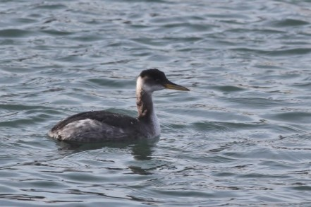 Red-necked Grebe that found an unfrozen patch of water in Centre County, PA on January 24th (Photo by Alex Lamoreaux)