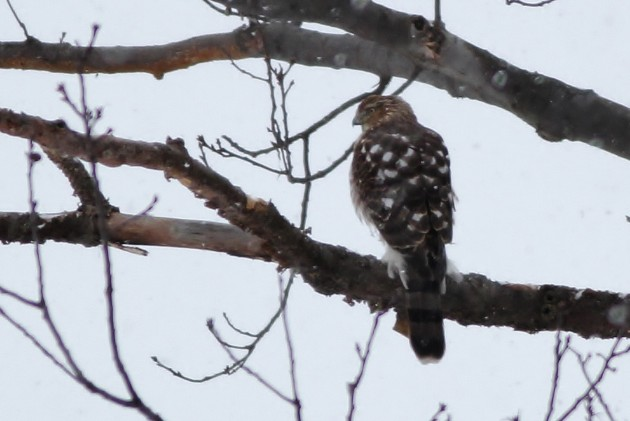 Cooper's Hawk - One of two immatures we saw on the route (Photo by Alex Lamoreaux)