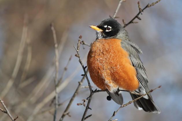American Robin (Photo by Alex Lamoreaux)