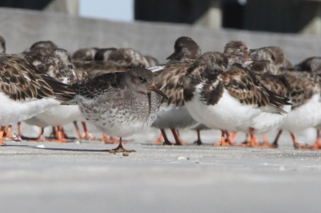 Purple Sandpiper with Ruddy Turnstones