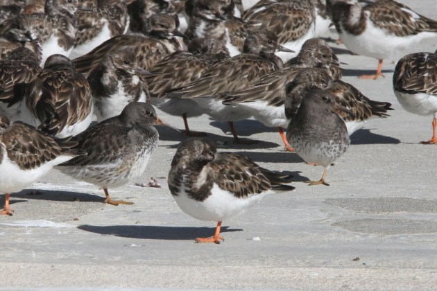Two Purple Sandpipers mixed into a group of Ruddy Turnstones