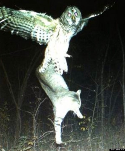 Barred Owl carrying off domestic cat