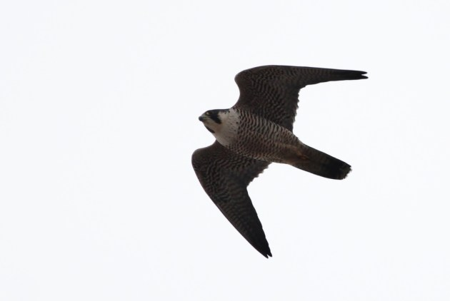 One of a dozen Peregrine Falcons that we saw while searching for the Gyrfalcon (Photo by Alex Lamoreaux)