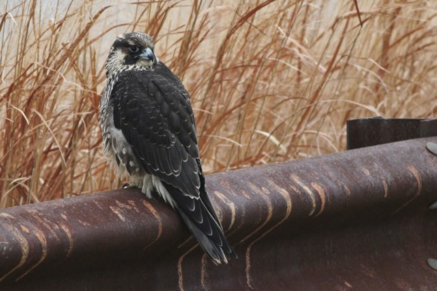 Peregrine Falcon - immature (Photo by Alex Lamoreaux)
