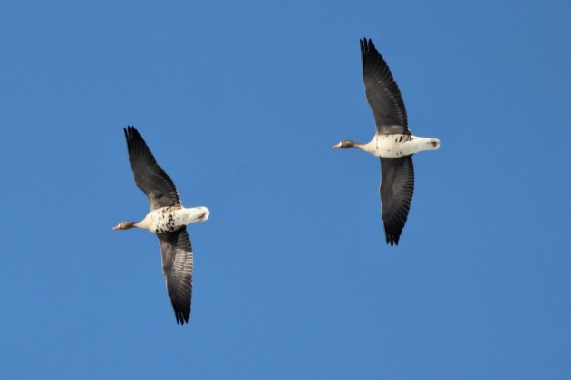 Greater White-fronted Geese flying over and heading out onto Delaware Bay (Photo by Alex Lamoreaux)