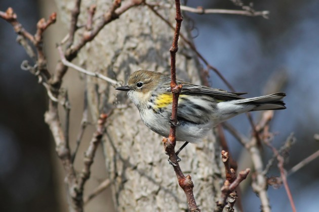 One of at least 20 Yellow-rumped Warblers near the entrance to the jetty. (Photo by Alex Lamoreaux)