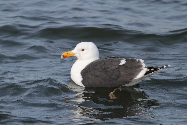 Although this Great Black-backed Gull might look cute, they are ruthless killers. (Photo by Alex Lamoreaux)