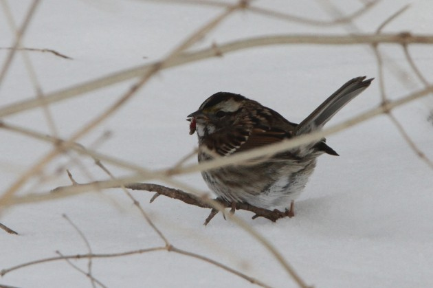 White-throated Sparrow (Photo by Nathan Goldberg)