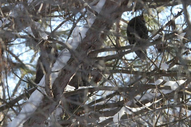 All three Long-eared Owls (Photo by Nathan Goldberg)
