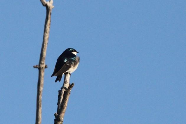 Tree Swallow (Photo by Nathan Goldberg)