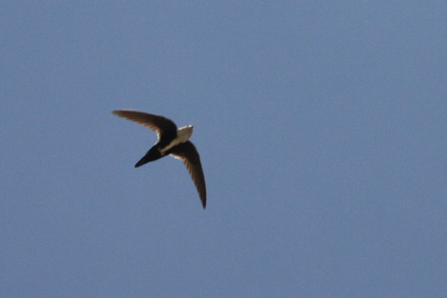 White-throated Swift (Photo by Nathan Goldberg)
