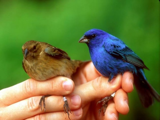 Male and Female Indigo Bunting  (Sandusky County Park District)