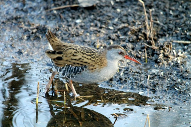 Water Rail – photo credit to http://www.flickr.com/photos/milesmilo/ under creative commons license