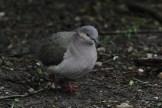 White-tipped Dove at Laguna Atascosa NWR (Photo by Alex Lamoreaux)
