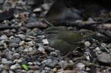 Olive Sparrow at Laguna Atascosa NWR (Photo by Alex Lamoreaux)