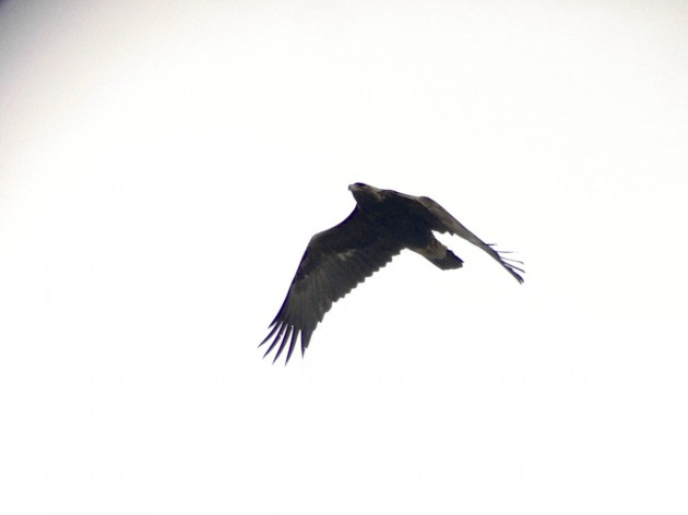 Golden Eagle - Derby Hill Hawk Watch