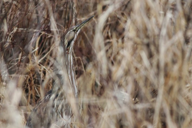 We have been lucky to see one American Bittern each of the past two years for the Birding Cup, here's to making it three! (Photo by Alex Lamoreaux)