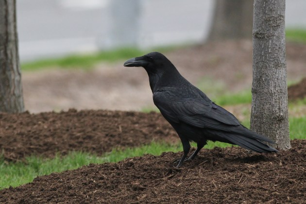 Urban Common Raven in State College, PA (Photo by Alex Lamoreaux)