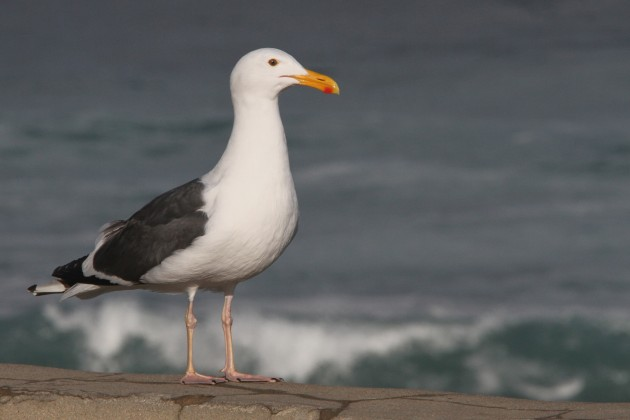 Western Gull (Photo by Nathan Goldberg)