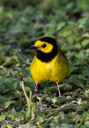 Hooded Warbler, South Padre Island (Tiffany Kersten)