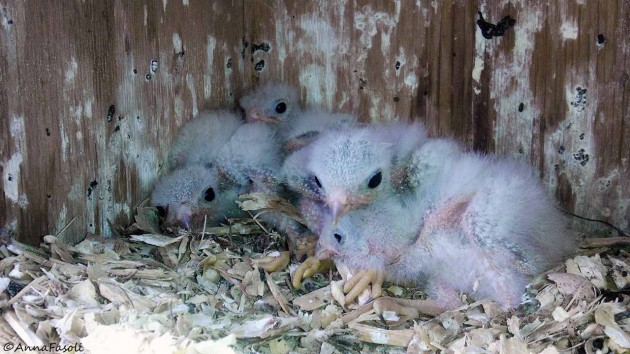 These chicks are about seven days old. Notice how they look less feeble and are much more alert!