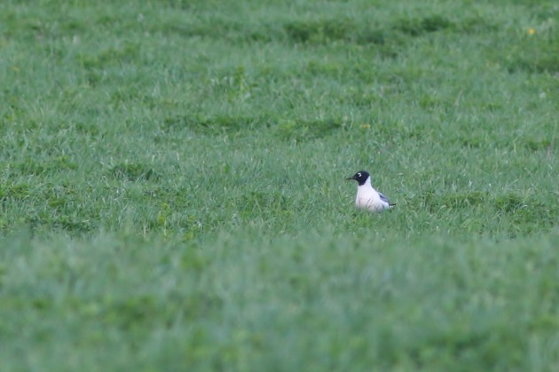 Franklin's Gull at Curtin Wetlands (Photo by Alex Lamoreaux)