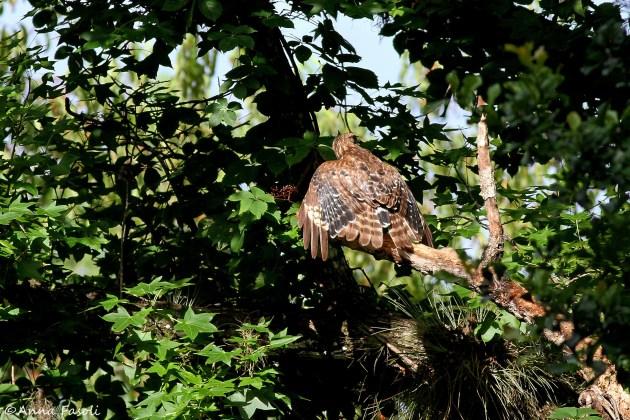 Juvenile Red-shouldered Hawk molting into adult plumage