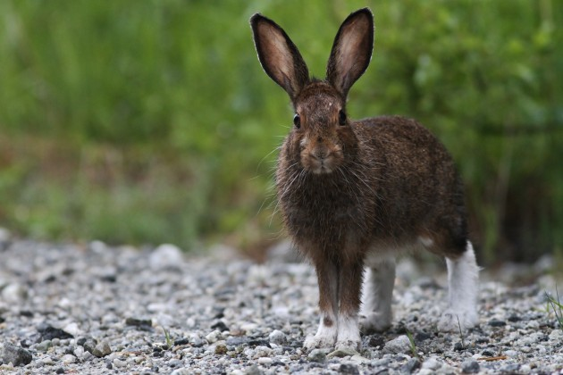 Snowshoe Hare near Headquarters, Idaho (Photo by Alex Lamoreaux)