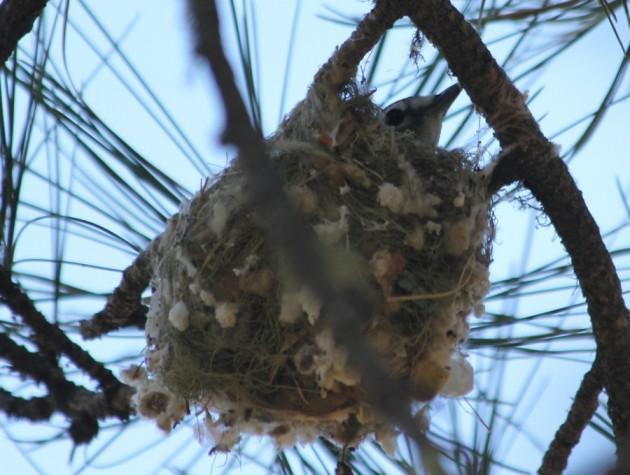 Plumbeous Vireo incubating on nest - AZ, 2014 (photo by Steve Brenner)