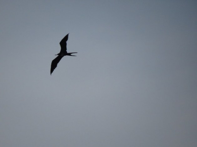 Magnificent Frigatebird at Eagle Beach, Aruba on 29 June 2014. Photo by Tim Schreckengost.