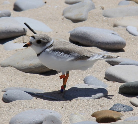 Female Great Lakes Piping Plover with unique color band combination including orange flag indicating it is a Great Lakes bird (Photo by Jordan Rutter)