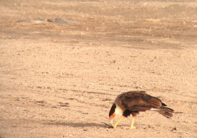 Crested Caracara along Malmok Weg, Aruba on 27 June 2014. Digiscoped with an iPhone 5 + Vortex Razor HD 20-60x85 & Phone Skope Adapter. iPhone photo by Tim Schreckengost.