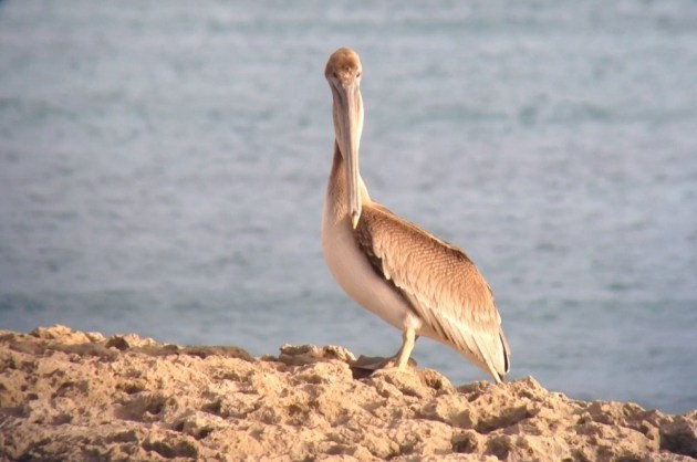 Brown Pelican at Malmok Beach, Aruba on 27 June 2014. Digiscoped with an iPhone 5 + Vortex Razor HD 20-60x85 & Phone Skope Adapter. iPhone photo by Tim Schreckengost.