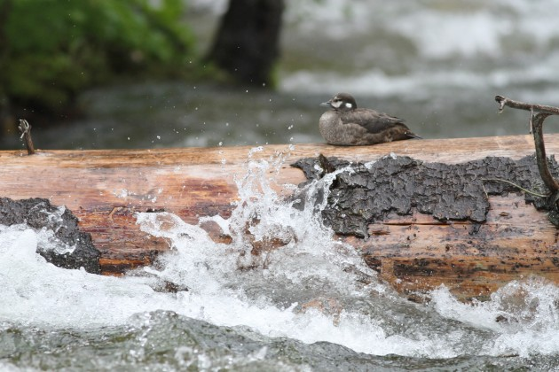 Female Harlequin Duck ignoring the whitewater in Warm Springs Creek, Idaho (Photo by Alex Lamoreaux)