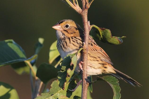 Henslow's Sparrow (Photo by Alex Lamoreaux)