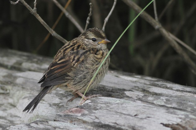 Juvenile 'Puget Sound' White-crowned Sparrow from Westhaven State Park, Washington (Photo by Alex Lamoreaux)