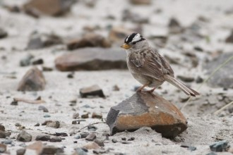 Adult 'Puget Sound' White-crowned Sparrow from Fort Stevens State Park, Oregon (Photo by Alex Lamoreaux)