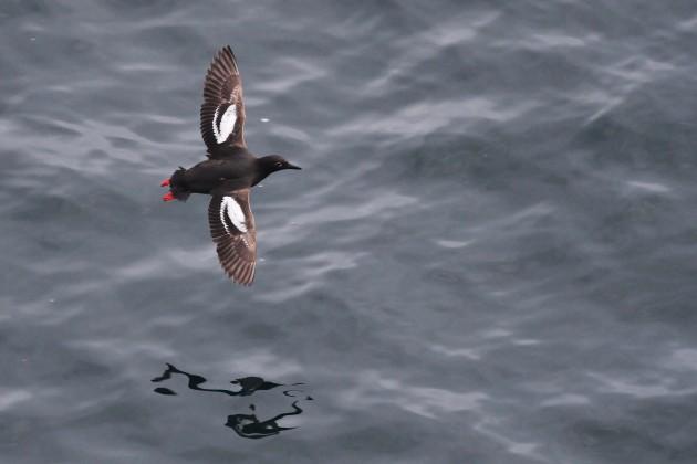 Pigeon Guillemot (Photo by Alex Lamoreaux)
