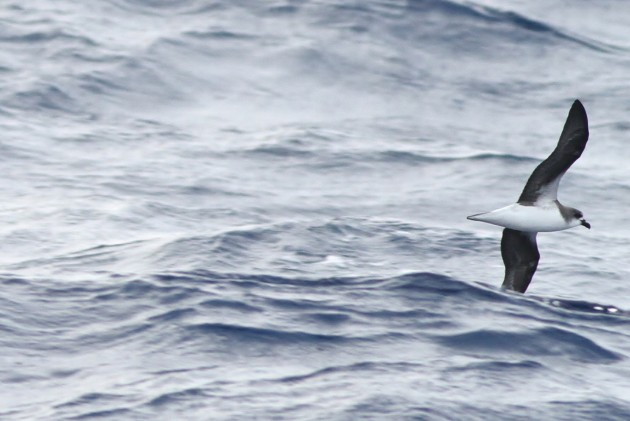 Fea's Petrel (Photo by Alex Lamoreaux)