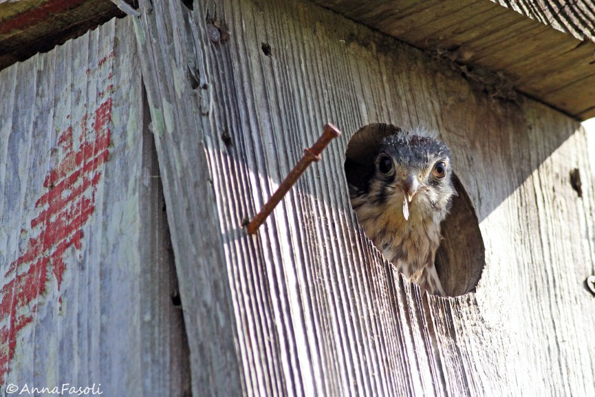 Southeastern American Kestrel chick - female; not quite ready to take the leap of faith