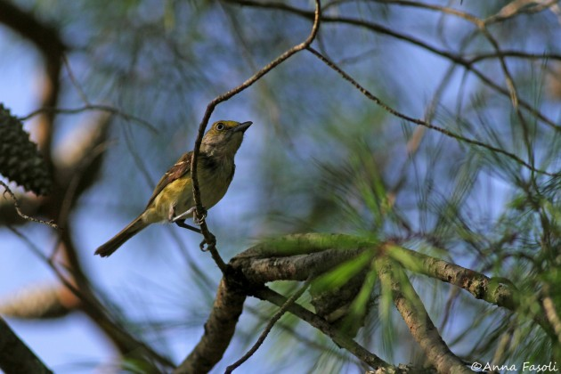 White-eyed Vireo, Ocala National Forest