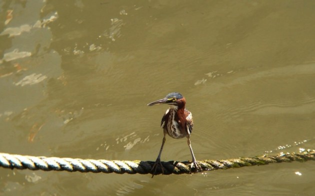 Green Heron at Fisherman's Wharf, Sussex County, Delaware on 29 August 2014. Digibinned with an iPhone 5 + Celestron Regal 8x42 & Phone Skope Adapter using the Horizon app for iOS. iPhone photo by Tim Schreckengost.